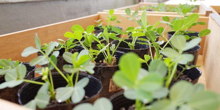 植え付け 落花生 落花生の育て方|おおまさりなど落花生栽培のコツ